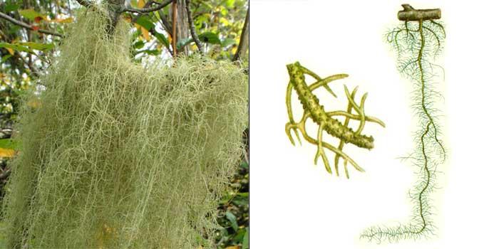 Уснея длиннейшая — Usnea longissima