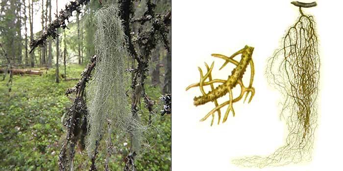 Уснея густобородая — Usnea dasypoga