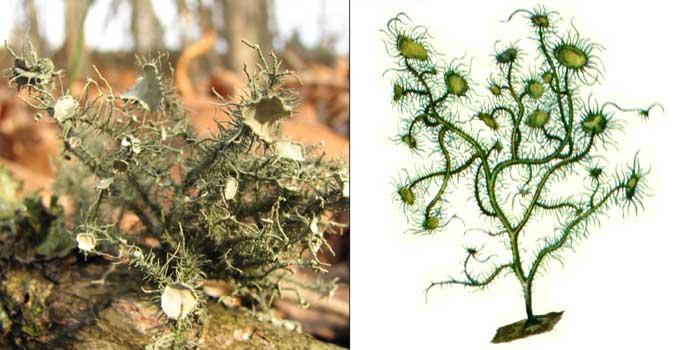 Уснея флоридская — Usnea florida