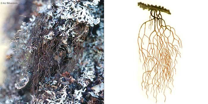 Алектория гривистая — Alectoria jubata