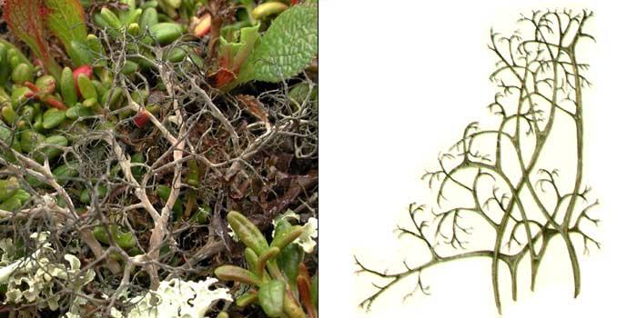 Алектория черноватая — Alectoria nigricans