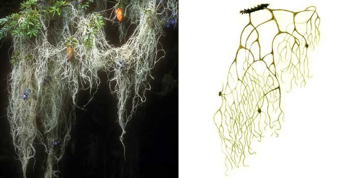 Алектория отпрысковая — Alectoria sarmentosa