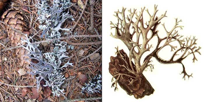 Эверния шелушащаяся — Evernia furfuracea