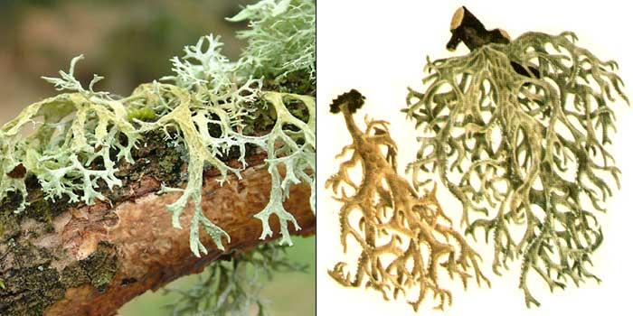Эверния сливовая, или «дубовый мох» — Evernia prunastri