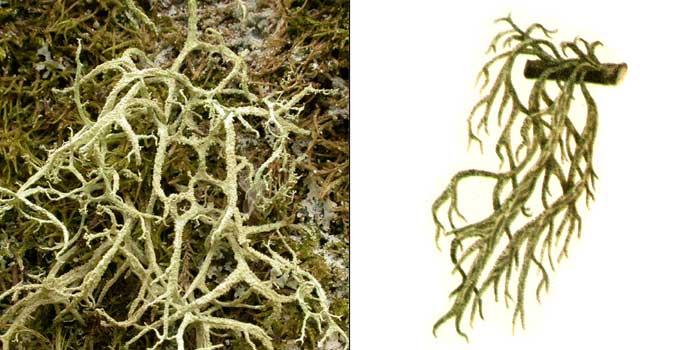 Эверния мезоморфная, или среднеморфная — Evernia mesomorpha