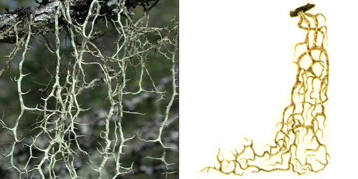 Эверния растопыренная — Evernia divaricata