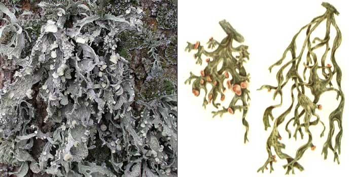 Рамалина ясеневая — Ramalina fraxinea
