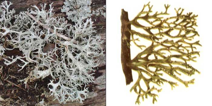 Рамалина мучнистая — Ramalina farinacea