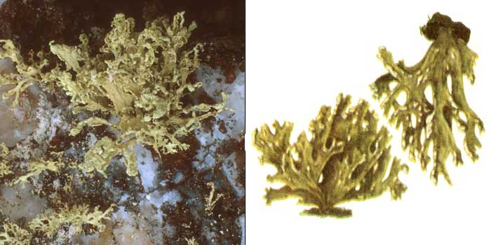 Рамалина опыленная — Ramalina pollinaria