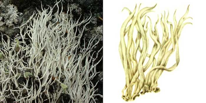 Тамнолия червеобразная — Thamnolia vermicularis