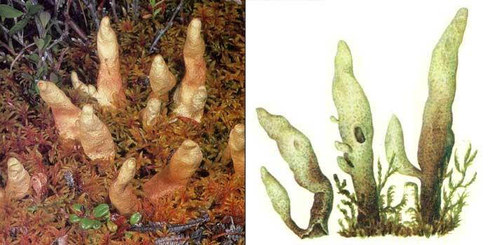 Дактилина арктическая — Dactylina arctica