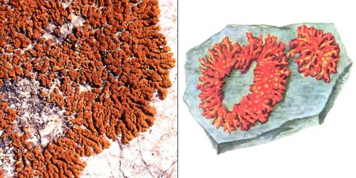 Гаспарриния изящная — Gasparrinia elegans
