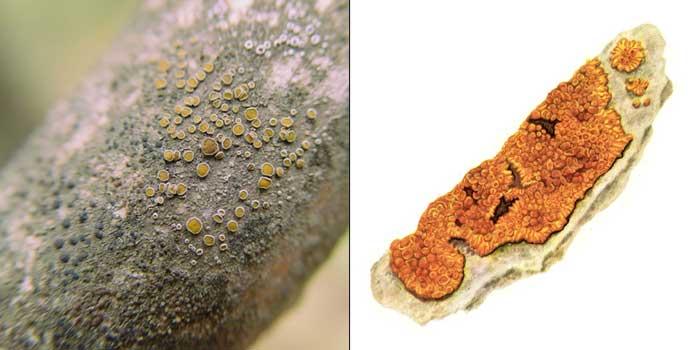Калоплака стенная — Caloplaca murorum