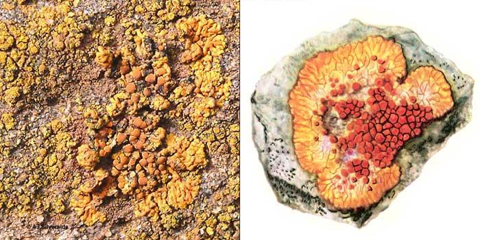 Калоплака оранжевая — Caloplaca aurantiaca