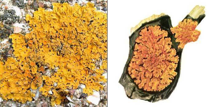 Ксантория постенная, или стенная золотнянка — Xanthoria parietina