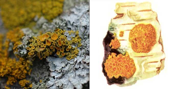 Ксантория многоплодная — Xanthoria polycarpa