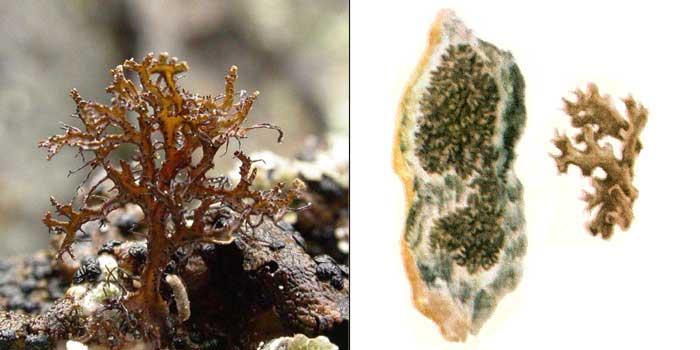 Фисция черноватая — Physcia nigricans