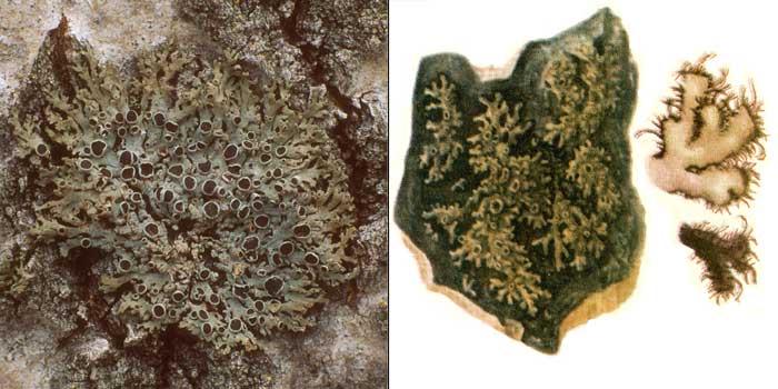Фисция реснитчатая, или темная — Physcia ciliata