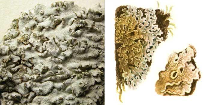 Фисция серая — Physcia grisea