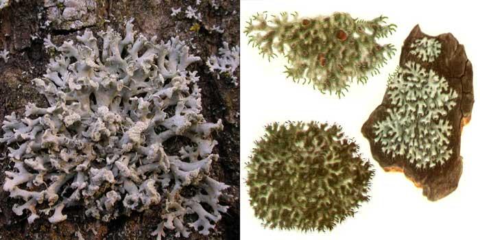 Фисция щетинистая — Physcia hispida