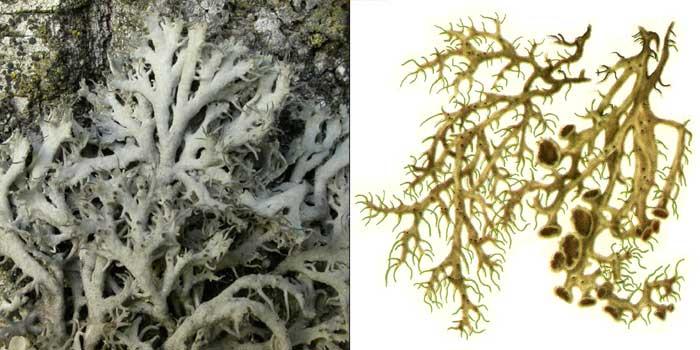 Анаптихия реснитчатая — Anaptychia ciliaris