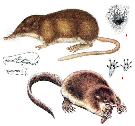 http://www.ecosystema.ru/08nature/mamm/006.jpg