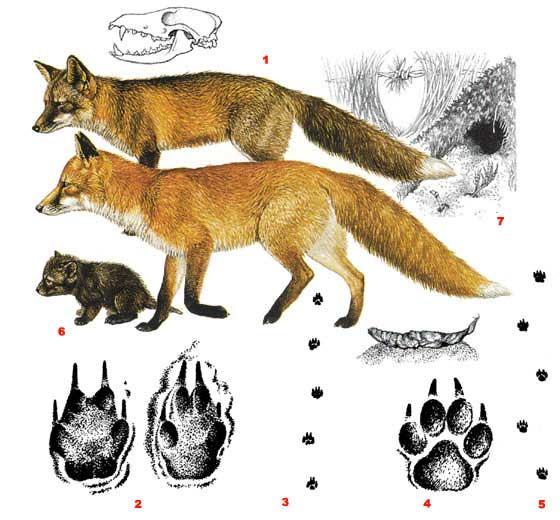 Обыкновенная лисица - Vulpes vulpes