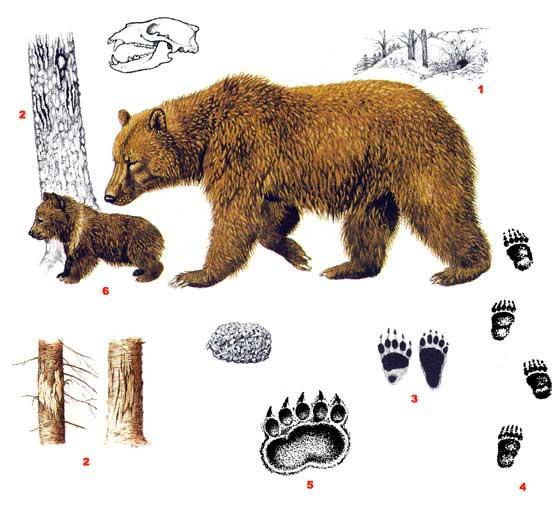 Бурый медведь - Ursus arctos