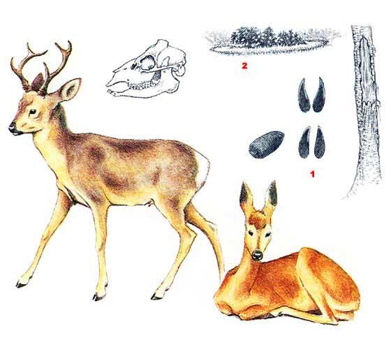 Сибирская косуля - Capreolus pygargus