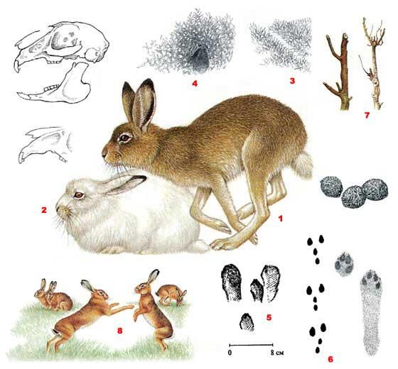 Заяц-беляк - Lepus timidus