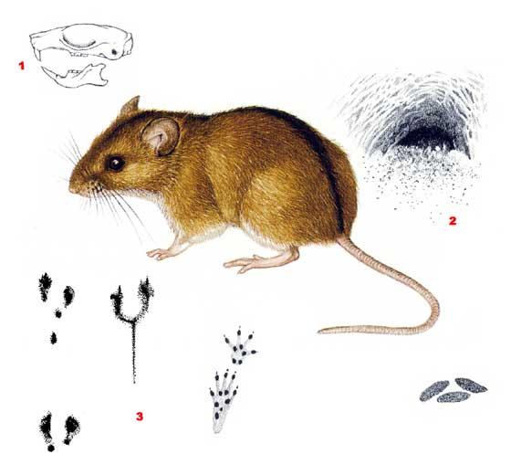 Полевая мышь - Apodemus agrarius