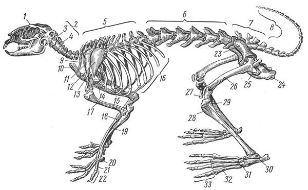 Скелет кролика (по Терентьеву