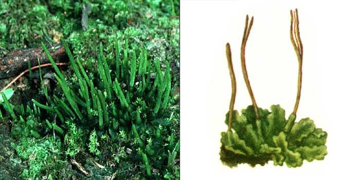 Феоцерос гладкий, или антоцерос гладкий — Phaeoceros laevis