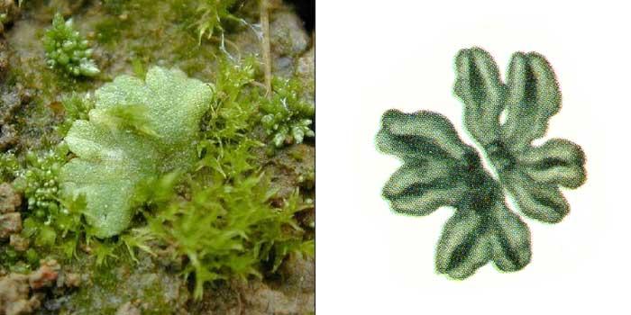 Риччия сизая — Riccia glauca