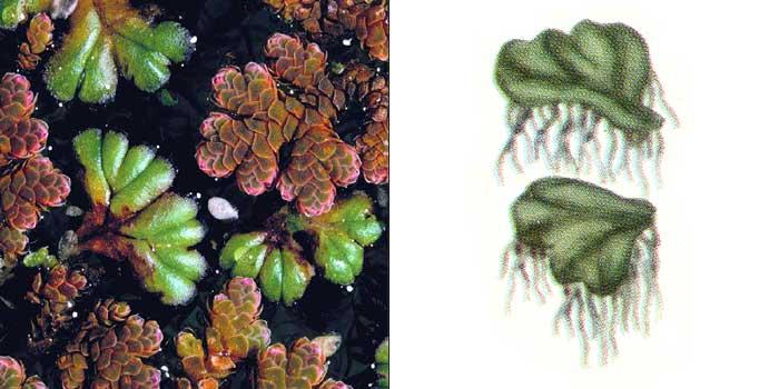 Риччиокарп, или риччиокарпус плавающий — Ricciocarpus natans