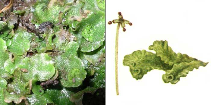 Лунулярия крестовидная — Lunularia cruciata