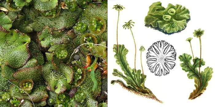 Маршанция многообразная — Мarchantia polymorpha