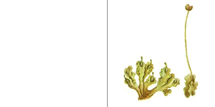 Блазия маленькая — Вlasia pusilla