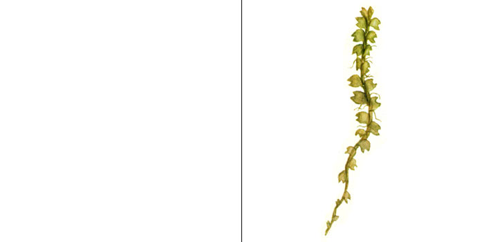 Лейоколея воротничковая, или лейоколея Мюллера — Leicolea collaris