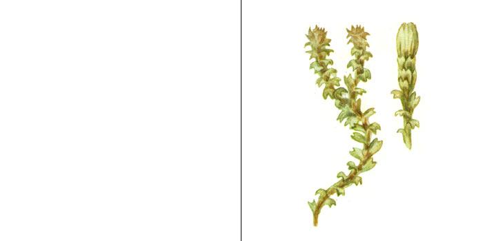 Лофозия пурпурно-белая — Lophozia porphyroleuca