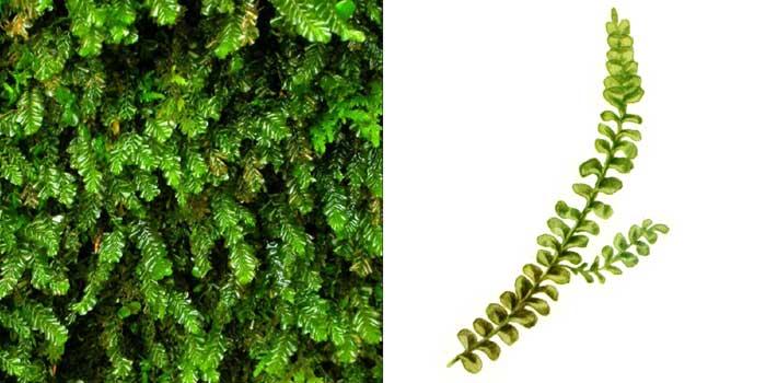 Плагиохила порелловидная — Plagiochila porelloides