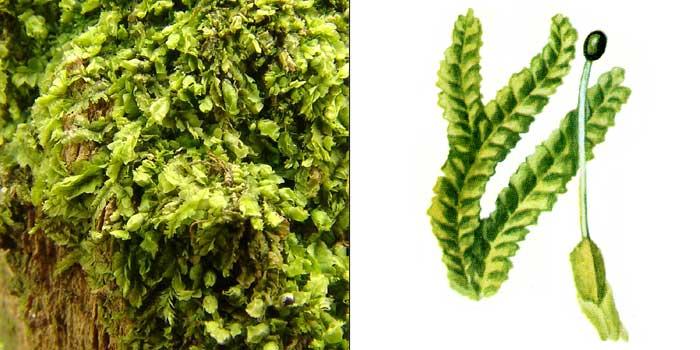 Лофоколея разнолистная — Lophocolea heterophylla