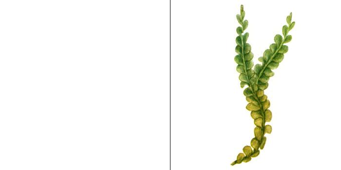 Хилосцифус ломкий — Chiloscyphus fragilis