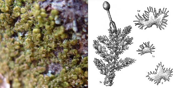 Птилидий, или птилидиум красивейший — Ptilidium pulcherrimum