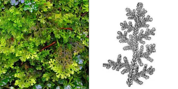 Трихоколея войлочная — Тrichocolea tomentella