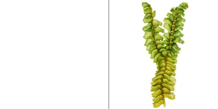 Баццания трехлопастная — Bozzania trilobata