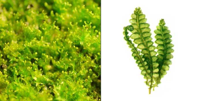 Калипогея цельнолисточковая — Calypogeia integristipula