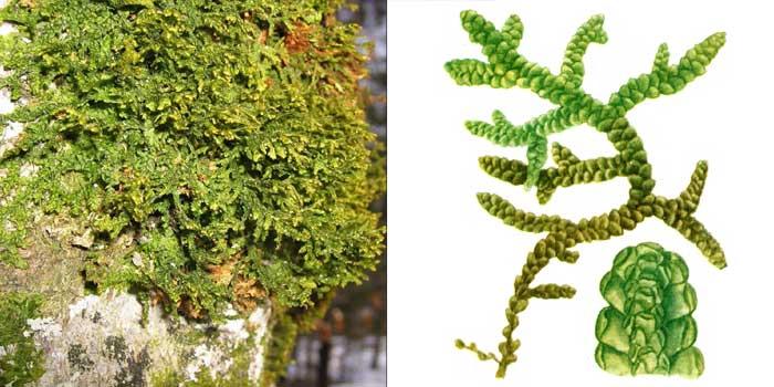 Порелла плосколистная — Porella platyphylla