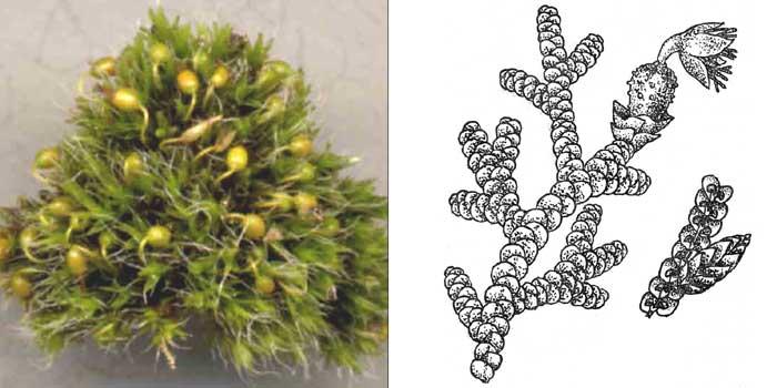 Фруллания расширенная — Frullania dilatata