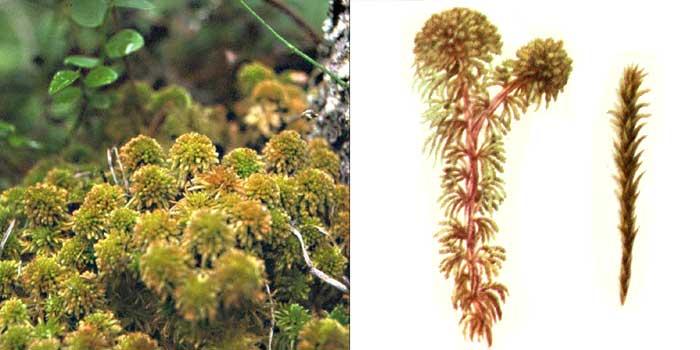 Сфагн, или сфагнум Вульфа — Sphagnum wulfianum